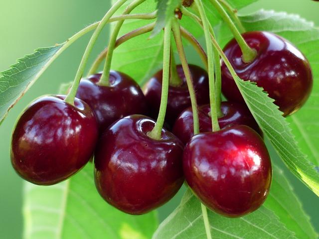 červené třešně na stromě