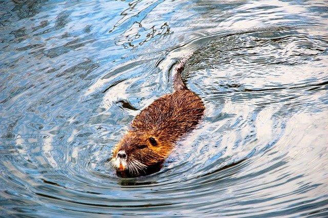 bobr ve vodě