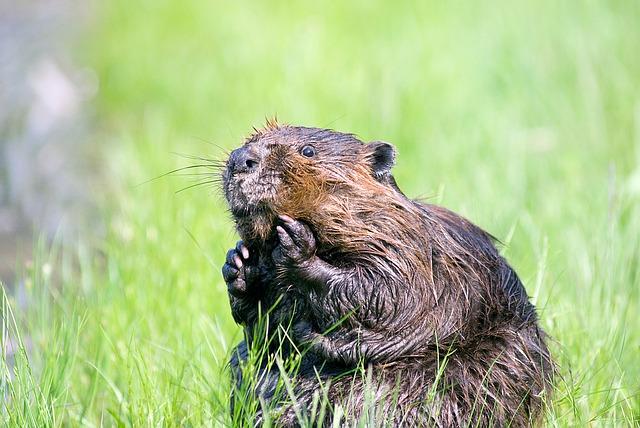 bobr v trávě